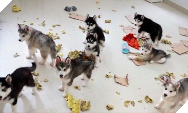 Cô chủ nuôi 9 chú chó Husky, tưởng tăng thêm 9 liều thuốc tinh thần, ai dè… 2
