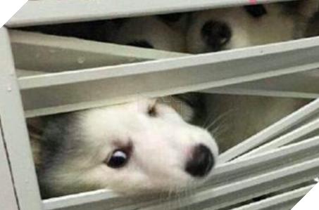 Cô chủ nuôi 9 chú chó Husky, tưởng tăng thêm 9 liều thuốc tinh thần, ai dè… 5