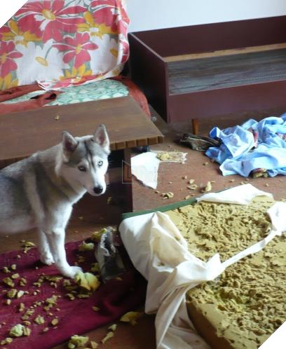 Cô chủ nuôi 9 chú chó Husky, tưởng tăng thêm 9 liều thuốc tinh thần, ai dè… 12