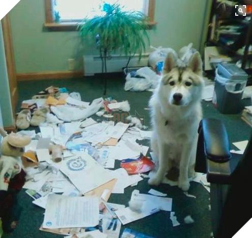 Cô chủ nuôi 9 chú chó Husky, tưởng tăng thêm 9 liều thuốc tinh thần, ai dè… 13