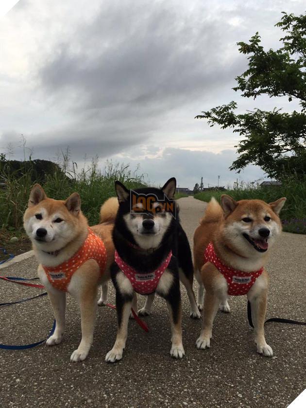 3 chú chó shiba đáng yêu vô đôi