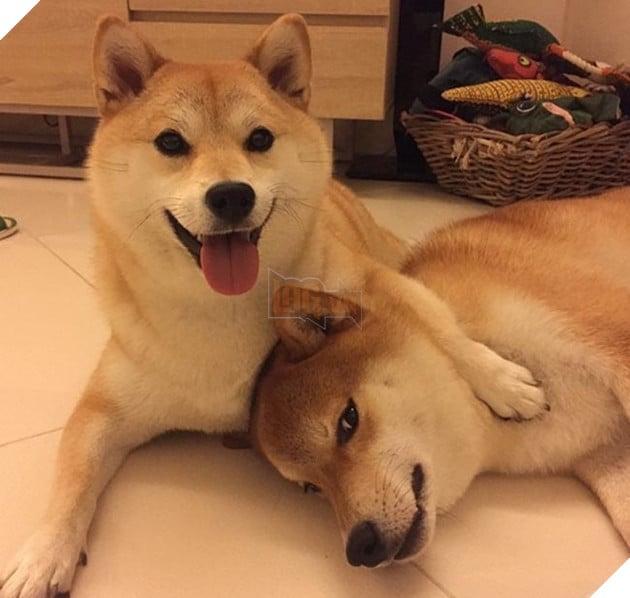 6 chú chó shiba đáng yêu
