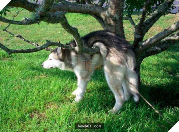 chú chó husky ngốc nghếch