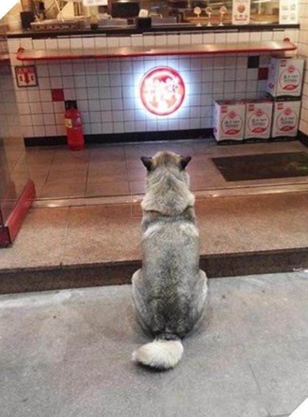 chú chó husky đi xin ăn