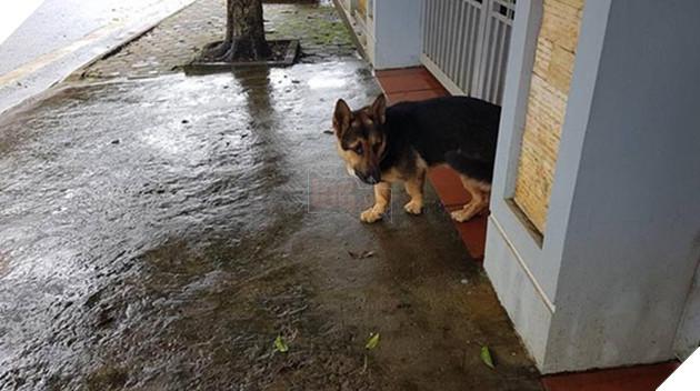 chú chó lùn lai corgi chân ngắn