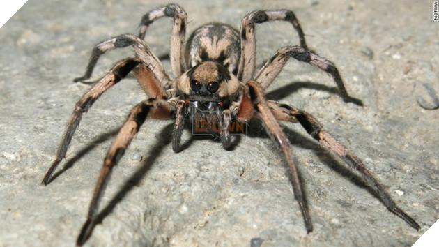 Chân dung loài nhện mới phát hiện tại vùng đông nam Iran, được đặt tên là Lycosa Aragogi.