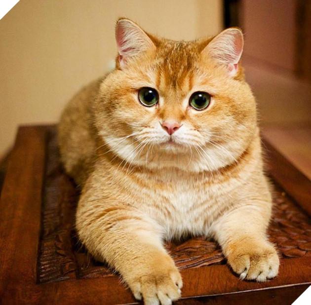 chú chó hosico  Scottish béo đáng yêu