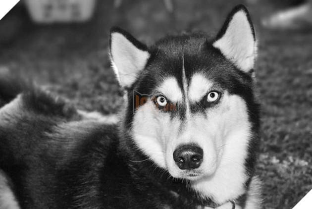 chú chó husky có khuôn mặt khinh bỉ cả thế giới