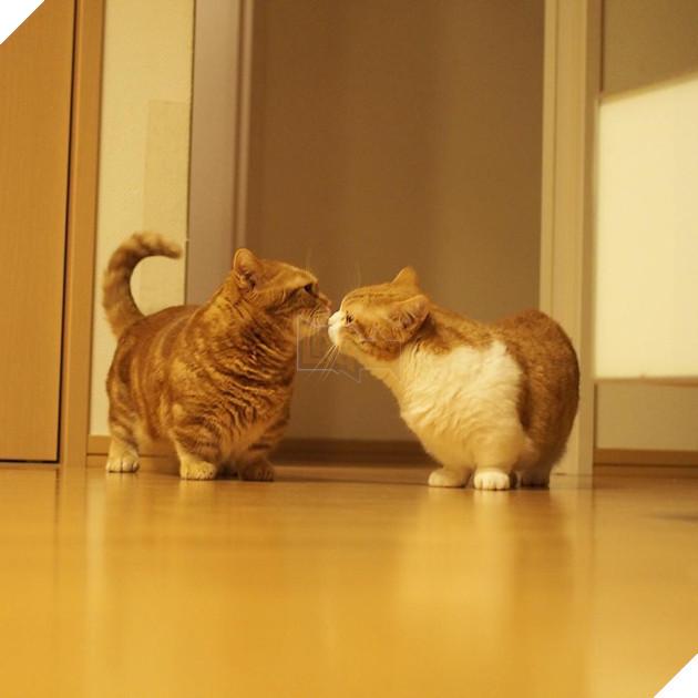 Cả thế giới ra mà xem cặp mèo chân ngắn một mẩu đốn tim cư dân mạng - Ảnh 13.