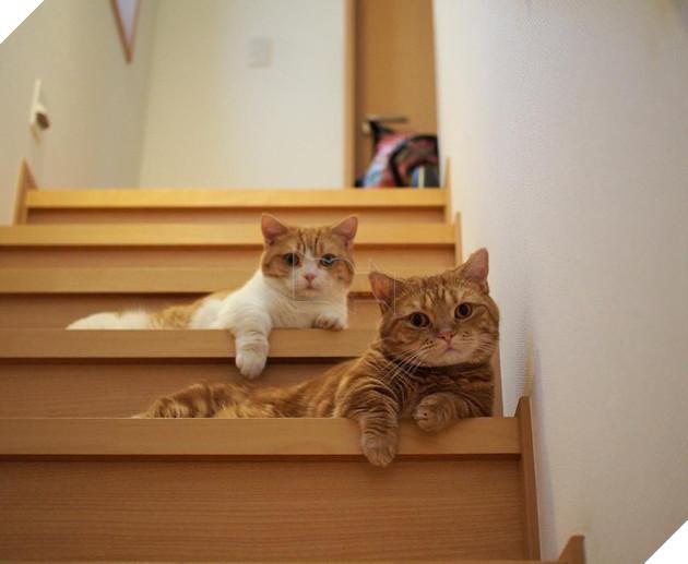 Cả thế giới ra mà xem cặp mèo chân ngắn một mẩu đốn tim cư dân mạng - Ảnh 5.