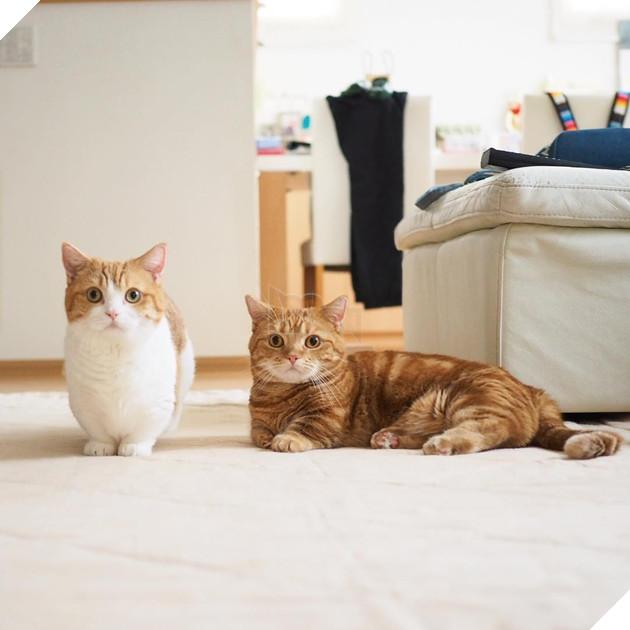Cả thế giới ra mà xem cặp mèo chân ngắn một mẩu đốn tim cư dân mạng - Ảnh 2.