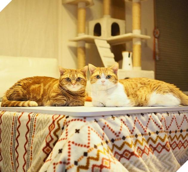 Cả thế giới ra mà xem cặp mèo chân ngắn một mẩu đốn tim cư dân mạng - Ảnh 6.