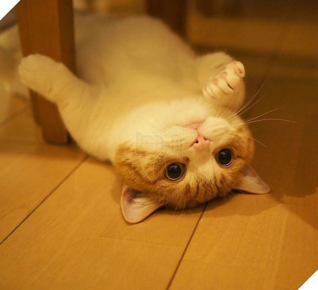 Cả thế giới ra mà xem cặp mèo chân ngắn một mẩu đốn tim cư dân mạng - Ảnh 14.
