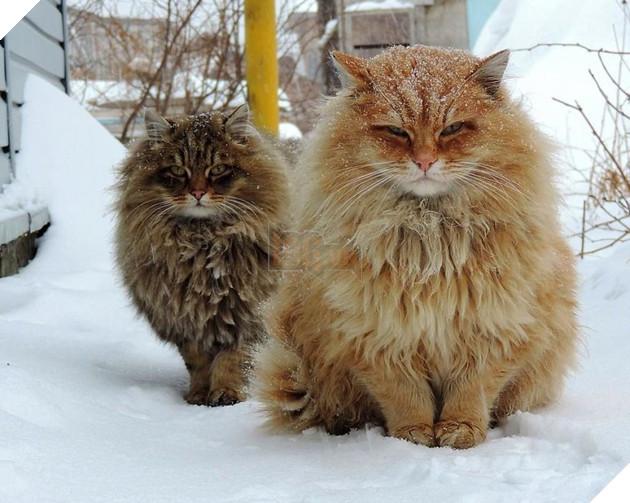 Đàn mèo Siberia xâm chiếm khu vườn của người nông dân, thế nhưng ý đồ của chúng vô tình trở thành việc tốt - Ảnh 7.