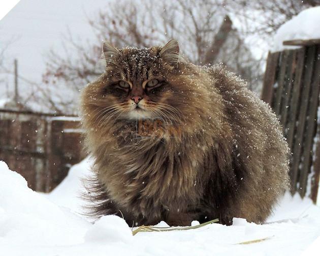 Đàn mèo Siberia xâm chiếm khu vườn của người nông dân, thế nhưng ý đồ của chúng vô tình trở thành việc tốt - Ảnh 11.