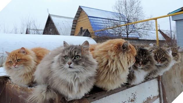 Đàn mèo Siberia xâm chiếm khu vườn của người nông dân, thế nhưng ý đồ của chúng vô tình trở thành việc tốt - Ảnh 13.