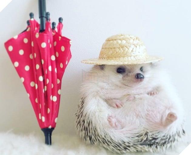 Kết quả hình ảnh cho azuki hedgehog