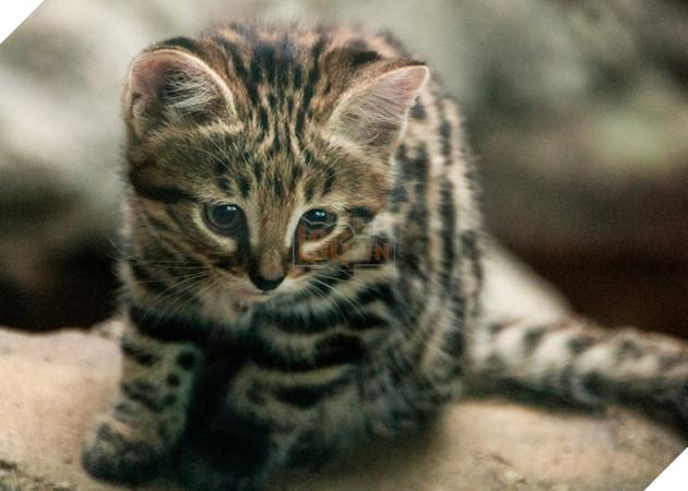 Chân dung loài mèo nguy hiểm bậc nhất thế giới nhưng lại có vẻ ngoài đáng yêu lừa tình - Ảnh 2.
