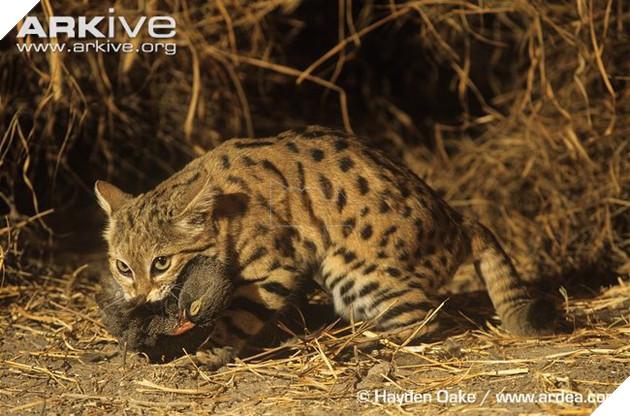 Chân dung loài mèo nguy hiểm bậc nhất thế giới nhưng lại có vẻ ngoài đáng yêu lừa tình - Ảnh 4.