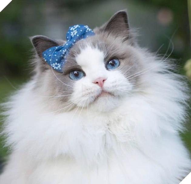 Aurora Purr là nàng mèo thuộc giống Bicolor Ragdoll, sống tại Stockholm, Thụy Điển.