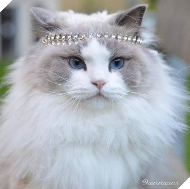 Chiêm ngưỡng Aurora Purr - 'Nàng' mèo lông xù xinh lung linh khiến ai cũng phải 'rụng tim'