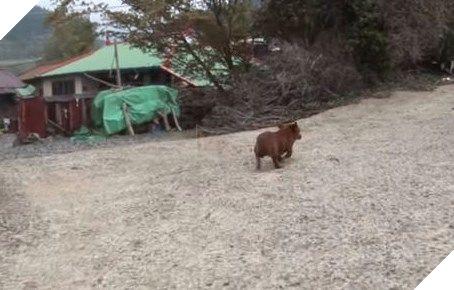 Nó quyết định đi tìm đến nơi bò mẹ đang sống.