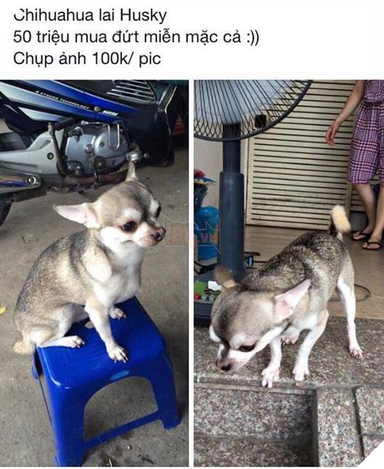 Bạn không nhìn lầm đâu, đây đích thực là con boss với gương mặt Chihuahua và thân hình Husky 2