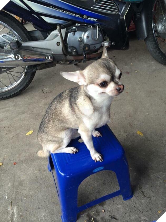 Bạn không nhìn lầm đâu, đây đích thực là con boss với gương mặt Chihuahua và thân hình Husky 3