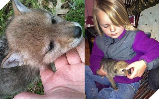 bắt cún về nuôi hóa ra là con sói