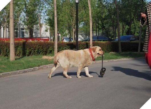 """Câu chuyện cảm động về chú chó tự ngậm dây đi dạo bên chủ gây """"sốt"""" MXH Trung Quốc 2"""
