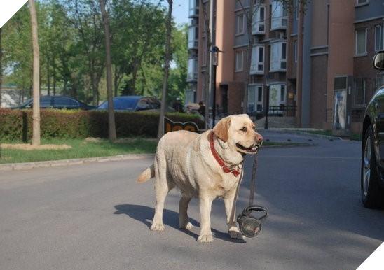 """Câu chuyện cảm động về chú chó tự ngậm dây đi dạo bên chủ gây """"sốt"""" MXH Trung Quốc 3"""