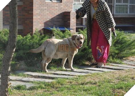 """Câu chuyện cảm động về chú chó tự ngậm dây đi dạo bên chủ gây """"sốt"""" MXH Trung Quốc 4"""