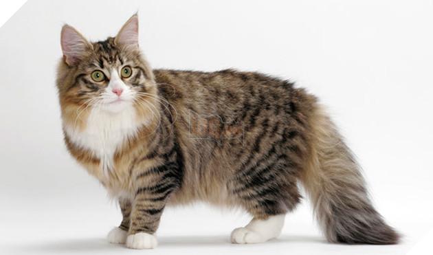 Top 10 giống mèo có trọng lượng lớn nhất thế giới