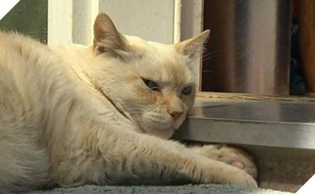 chú mèo đanh đá đánh chó pitbull tan tác