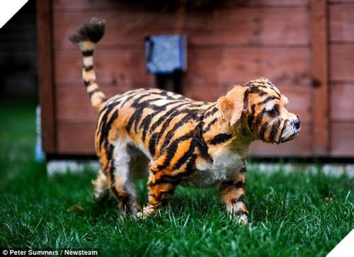 ''Sen' thích nuôi hổ nhưng sợ bị ăn thịt, 'boss' bị đem ra làm trò cười thế này đây!