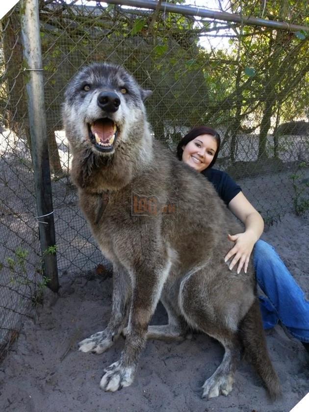 Yuki là một chú chó được lai tạo với sói nên có kích thước khá to lớn.