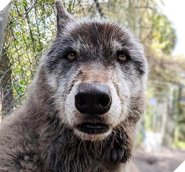 Rất may là nó đã được một trung tâm cứu trợ chó sói nhận về nuôi và chăm sóc.