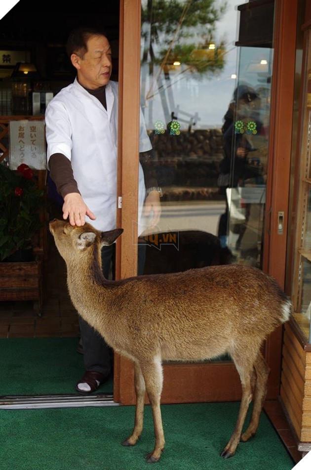 """Hiện tượng """"hươu đi xin đểu"""" tràn lan tại Nhật Bản vô tình giúp quảng bá du lịch nước này 4"""