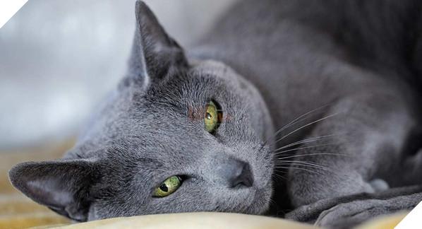 Loài mèo này cũng có tính cách dịu dàng, đáng yêu với bản tính điềm đạm và tình cảm.Ảnh: Internet