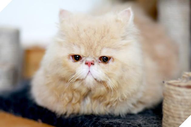 Tuy nhiên, mèo Ba Tư lông rất dài, hay rụng và bay đầy nhà, nên nếu bạn không thể chăm sóc, chải lông, làm vệ sinh đều cho chúng thì thực sự không nên nuôi mèo Ba Tư, ảnh hưởng xấu tới sức khỏe cho cả bạn và chúng.Ảnh: Internet