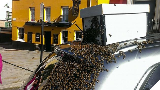 Những người thợ nuôi ong phải dùng một chiếc hộp để dụ bầy ong chui vào.