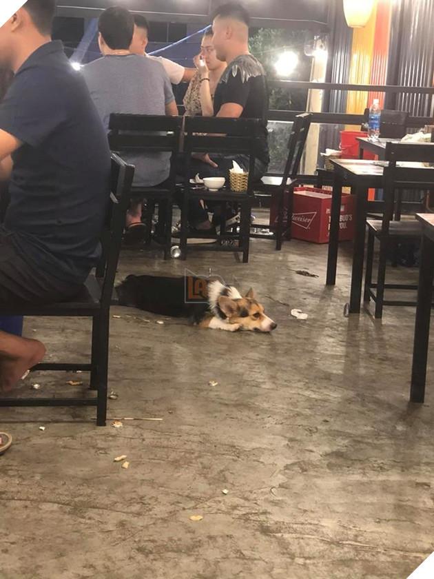 """""""Lùn mệt rồi, Lùn không đi xin ăn nữa"""" - Corgi nghĩ thầm sau một ngày làm việc mệt nhọc."""