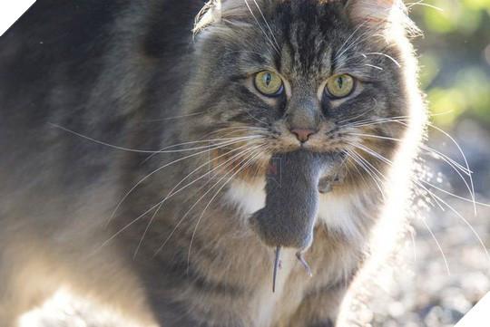Úc lên kế hoạch giết 2 triệu con mèo hoang - Ảnh 2.
