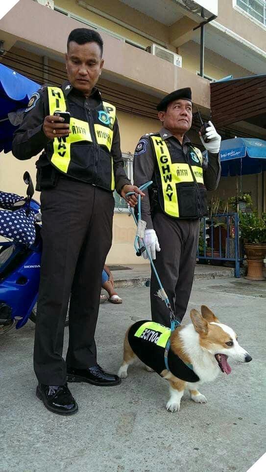 Với vẻ ngoài đáng yêu của mình, chú chó Corgi đã thành công đưa tên tội phạm nguy hiểm lọt lưới.