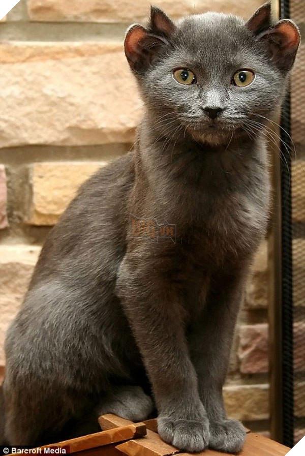 Bé mèo 4 tai cực ngộ nghĩnh và đáng yêu đốn tim cộng đồng mạng 6