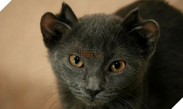 Bé mèo 4 tai cực ngộ nghĩnh và đáng yêu đốn tim cộng đồng mạng 3