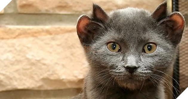 Bé mèo 4 tai cực ngộ nghĩnh và đáng yêu đốn tim cộng đồng mạng 4