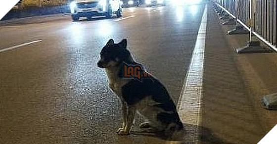 Chú chó chờ chủ ở chỗ tai nạn suốt 80 ngày trời