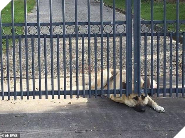 Chú chó rầu rĩ này cũng đang nằm ở sân trước cửa ngôi nhà chờ đợi người chủ làm nghề phi công quay về. Thế nhưng, người chủ đã gặp tai nạn máy bay cách đây ít ngày và được cơ quan chức năng xác nhận là đã qua đời trong vụ việc.