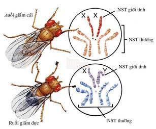 Image result for ruồi giấm morgan